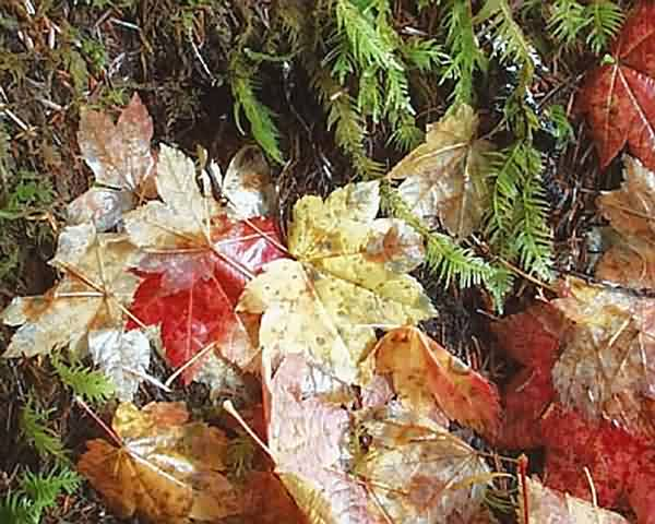 Vine Maple & Oregon Beaked Moss